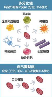 多分化能: 特定の細胞に変身(分化)する能力(肝細胞・骨細胞・心筋細胞・軟骨細胞・神経細胞・血管内皮細胞) / 自己複製能: 変身(分化)前に、自らを複製する能力(自己複製)